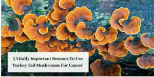 turkey tail mushrooms for cancer graphic