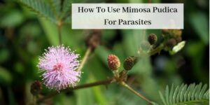 How To Use Mimosa Pudica For Parasites - Mimosa Pudica Plant