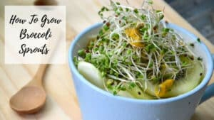How To Grow Broccoli Sprouts From Home - Salad With Sprouts